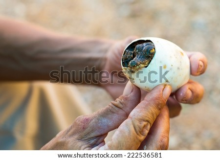 from the egg there is a small cub is American crocodile - stock photo