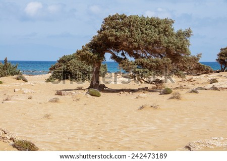 From the wind formed Junipers at the Lafrakas beach on Gavdos, Greece. A dreamy beach with yellowish sand and dunes and flowering thyme at the north coast of Gavdos.  - stock photo