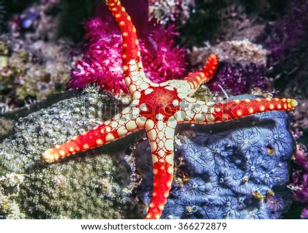 Fromia monilis, necklace starfish,tiled starfish,  belonging to the family Goniasteridae.
