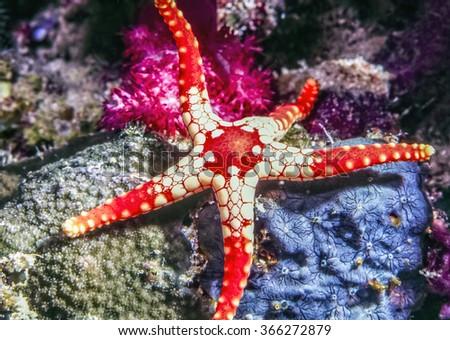 Fromia monilis, necklace starfish,tiled starfish,  belonging to the family Goniasteridae. - stock photo