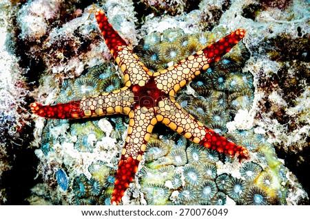 fromia monilis starfish kapoposang scuba diver diving - stock photo