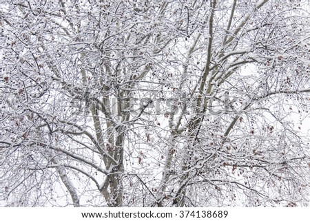 fronds of snow covered trees on a white background create a branches texture - stock photo