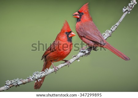 Front and Back View of Male Northern Cardinal - stock photo
