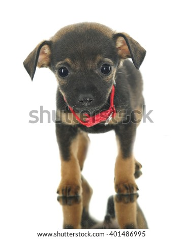 Front and center of an adorable puppy mutt nervously standing on a mirror.  On a white background. - stock photo