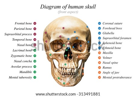 human skull anatomy stock images royalty free images. Black Bedroom Furniture Sets. Home Design Ideas