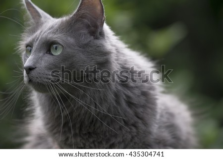 Front of a rare Nebelung cat with green eyes gazing forward in a garden. Focus on nose and whiskers