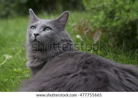 Front of a rare Nebelung cat with green eyes gazing upwards in a garden. Focus on nose and whiskers