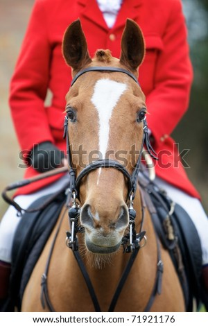 Front on head shot of a horse, the rider is wearing a hunting jacket - stock photo