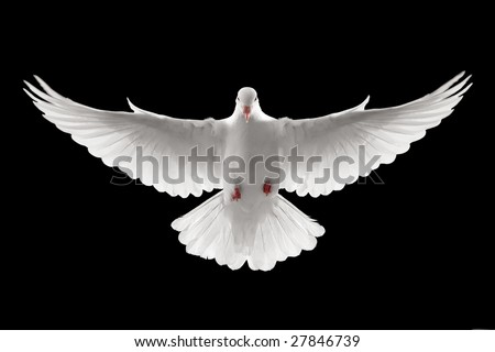 front profile of a flying white dove, isolated - stock photo