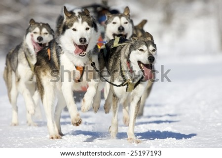 front view at four  siberian huskys at race in winter - stock photo