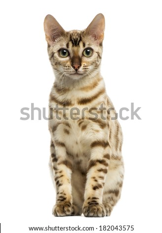 Front view of a Bengal cat sitting, looking at the camera, 5 years old, isolated on white