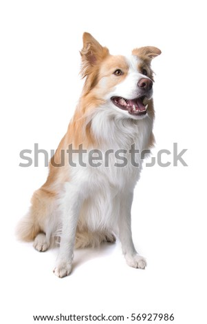 front view of a border collie dog sitting, isolated on a white background - stock photo