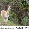 front view of a curious vicuna  ...