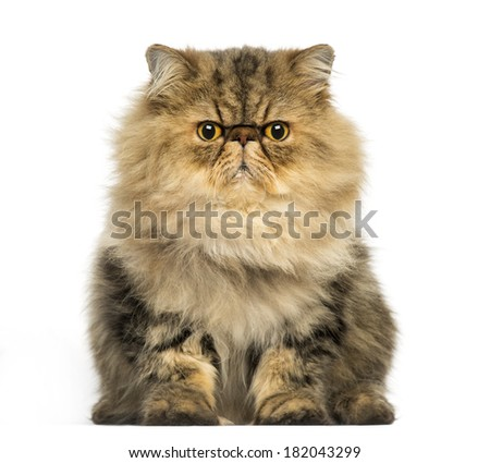 Front view of a grumpy Persian cat facing, looking at the camera, isolated on white - stock photo