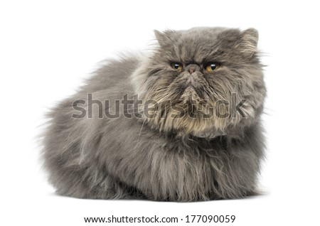 Front view of a grumpy Persian cat, lying, looking away, isolated on white - stock photo