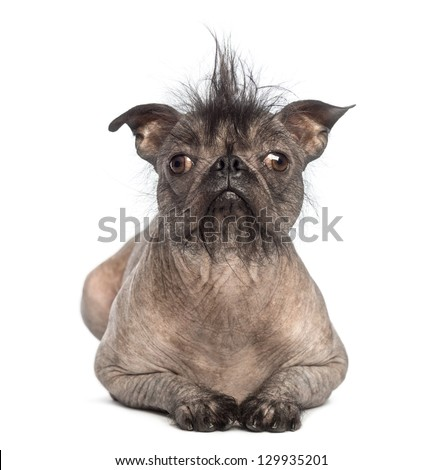 Front view of a Hairless Mixed-breed dog, mix between a French bulldog and a Chinese crested dog, lying and looking at the camera in front of white background - stock photo