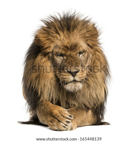 Front view of a Lion lying, crossing paws, Panthera Leo, 10 years old, isolated on white - stock photo