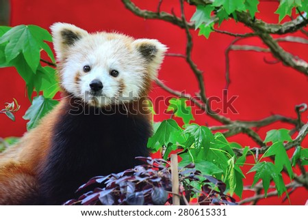 front view of a red panda  - stock photo