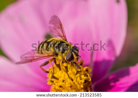 Front view of a wasp resting on a pink flower