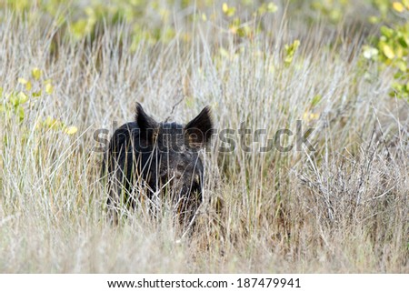 Front view of a Wild Boar at Merritt Island National Wildlife Refuge in Florida - stock photo