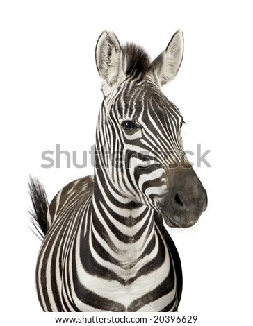 Front view of a Zebra in front of a white background - stock photo