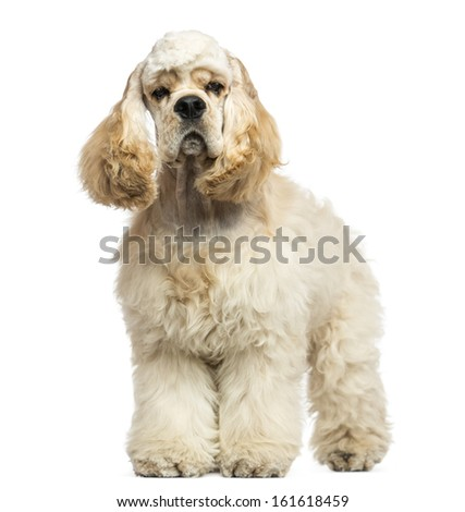 Front view of an American Cocker Spaniel standing, isolated on white - stock photo