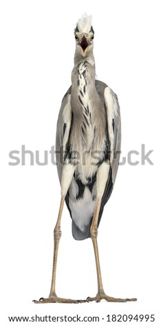 Front view of an angry Grey Heron screaming, looking at the camera, Ardea Cinerea, 5 years old, isolated on white - stock photo