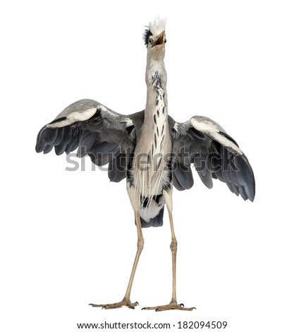 Front view of an Grey Heron doing a mating dance, Ardea Cinerea, 5 years old, isolated on white - stock photo