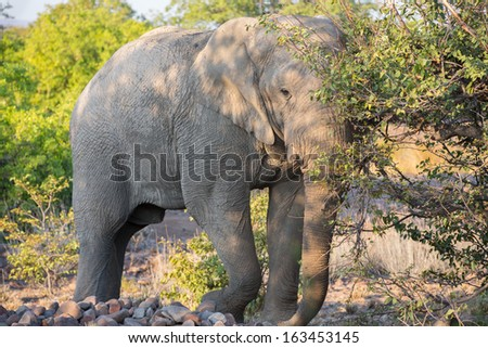 Front view of angry elephant in the middle of track, Namib
