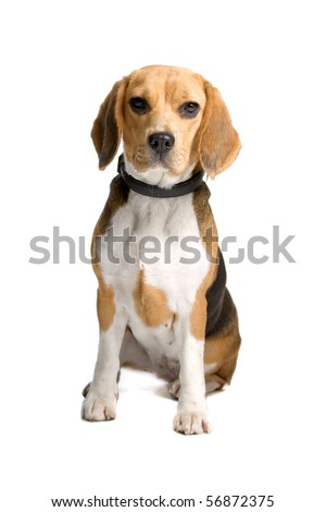 front view of beagle hound sitting, isolated on a white background. dog looking at camera. studio shot