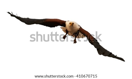 Front view of bird of prey, African fish eagle, Haliaeetus vocifer flying directly at camera with outstretched wings, isolated on white background. KwaZulu Natal, South Africa. - stock photo