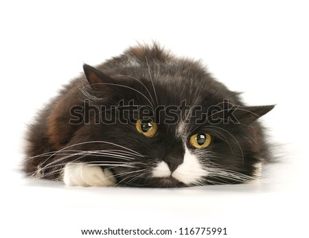 Front view of Black and white cat on white background - stock photo