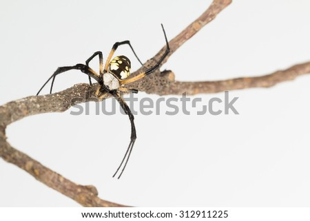 Front view of black and yellow female  agriope spider on a twig, focused on her eyes.