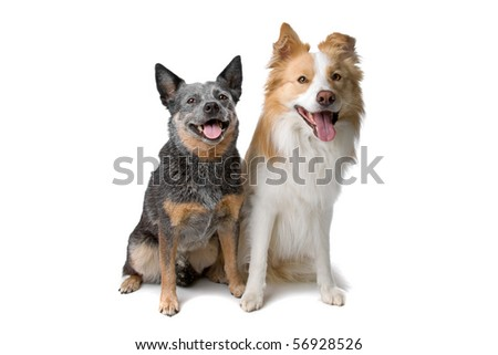 front view of border collie and australian cattle dog sitting, isolated on a white background - stock photo