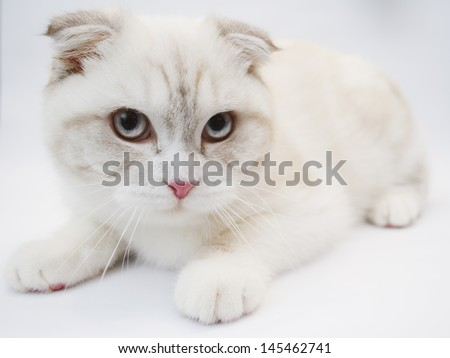 Front view of British shorthair cat, 7 months old - stock photo