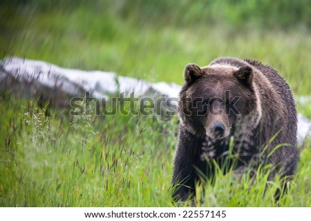 Front view of Brown Bear walking towards the viewer