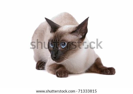 Front view of cute Siamese cat looking sideways, on a white background - stock photo