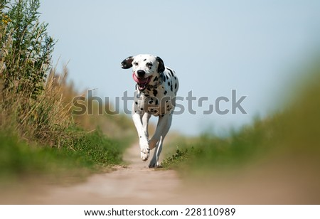 Front View of Exuberant Dalmatian Dog Running on Path Towards Camera - stock photo