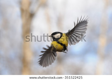 Front view of flying Great tit (Parus major) - stock photo