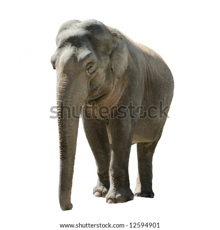 Front view of isolated female indian elephant on white background.