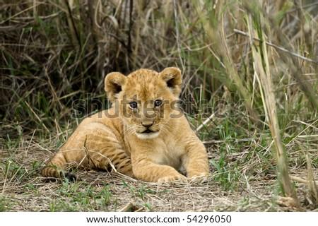 Front view of lion cub, Serengeti National Park, Serengeti, Tanzania - stock photo