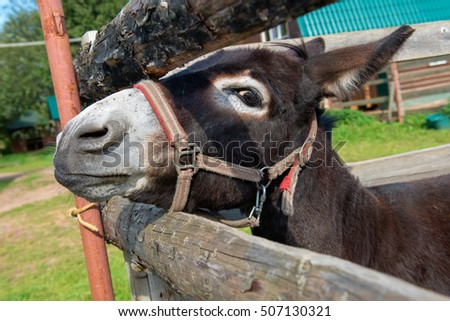 Front view of sad donkey with red and white halter looking straight at you resting head on fence of corral.