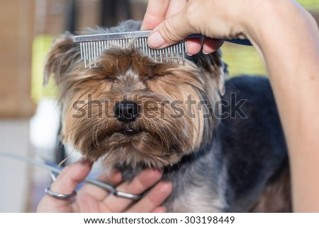 Front view of the head of Yorkshire terrier, who is combing by the groomer woman. The dog has eyes closed cute. - stock photo