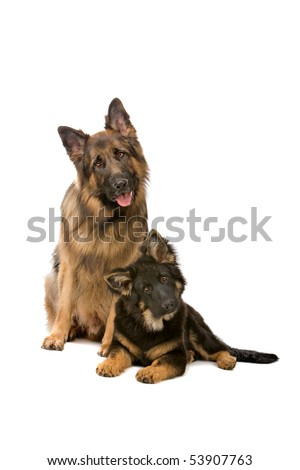 front view of two German shepherd dogs - stock photo