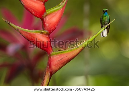 Front view of very rare green tobago's hummingbird White-tailed Sabrewing Campylopterus ensipennis perced on red heliconia bihai flower. Colorful green and red blurry background. - stock photo