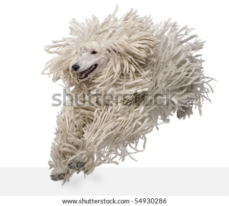 Front view of White Corded standard Poodle running in front of white background - stock photo
