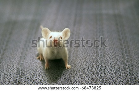 front view of white mouse sitting on a grey background - stock photo