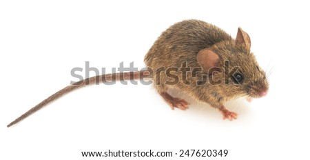 Front view of Wood mouse  isolated on white background