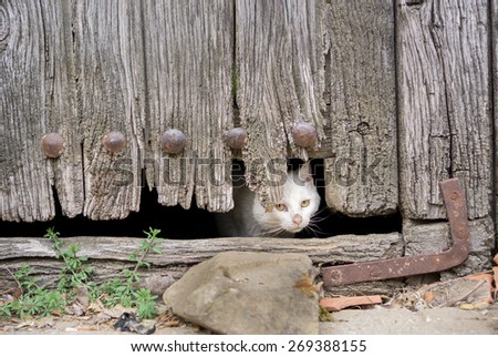 Front view of wounded cat through old wooden door hole - stock photo