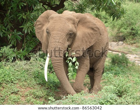 frontal Elephant at feed in Tanzania (Africa) - stock photo